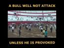 Как правило быки не будут атаковать если их не спровоцировать