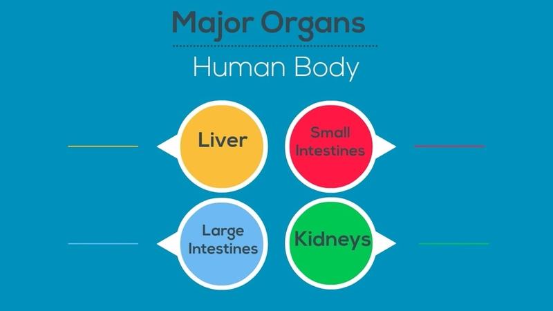 Major Organs of the Human Body