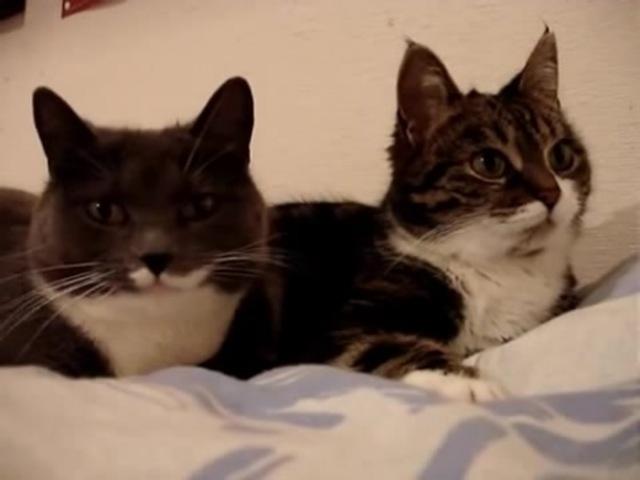 Разговор двух котов hfpujdjh lde[ rjnjd