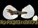Яйца крокодилов и аллигаторов! Что такое яйца крокодила и зачем они нужны!