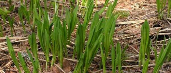 Черемша: посадка семян и уход в открытом грунте. С приходом весны организм человека нуждается в восполнении баланса естественных витаминов и микроэлементов. Не малую роль в этом может сыграть