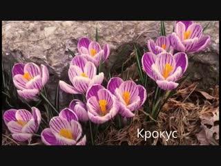 Первоцветы на даче-Дачники