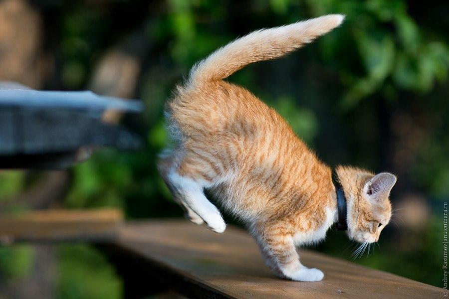 рыжий кот прыгает