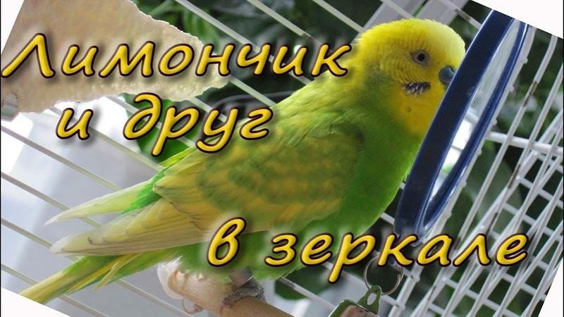 Волнистый попугайчик Лимон и его друг в зеркале. Budgie sounds and mirror.