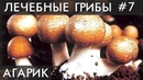ГРИБ Агарик Бразильский. № 1 от Рака. Лечит грибок ногтей, Почки, Лимфу и не только...