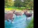 Белохвостые олени переходят реку
