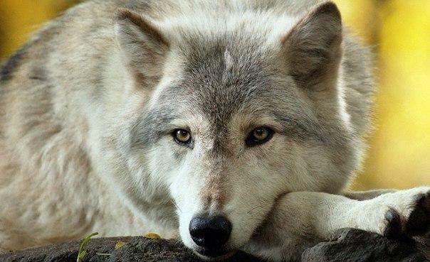 Волки♦ (2)