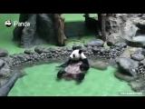 Хочу валяться как эта панда, а не вот это вот все