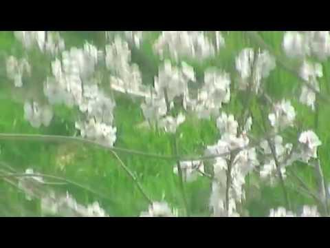 Под окном зацвёл абрикос. Крым, Евпатория. 2 апреля,18