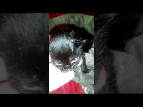 Как выглядят упитанные котята Мейн куны в 5 дней Красавцы и красавицы, Сытые и довольные