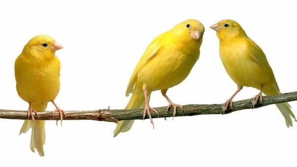 Орнитотерапия: лечебное пение птиц