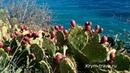 Как и где растут кактусы для нашего уксуса. Купить из опунции на Крым-трава.ру