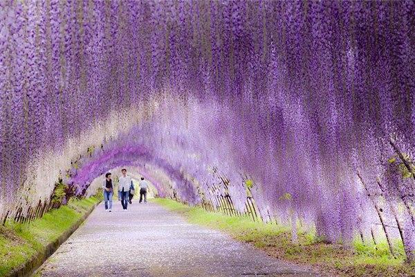 Тоннель из цветов глицинии, Япония