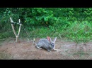 Amazing Quick Rabbit Trap Using Sling Foot Trap How To Make Best Sling Foot Trap To Catch Rabbit