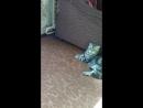 Шотландский вислоухий кот Лестор наблюдает за ужиком по имени КА как он охотится