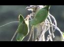 Spectacled parrotlet / Очковый воробьиный попугайчик / Forpus conspicillatus