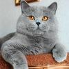 """Британские котята!!! Питомника """" Banburu """""""