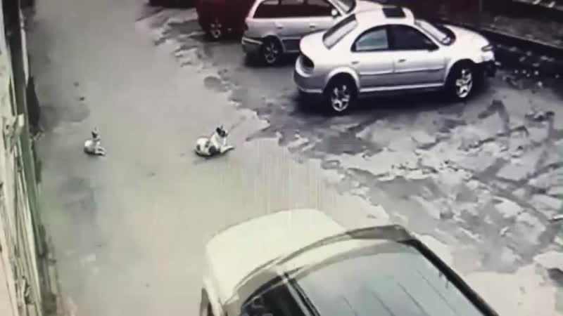 В Мурманске вот этот конченный на белом Range Rover е намеренно проехался по мирно сидящему животному