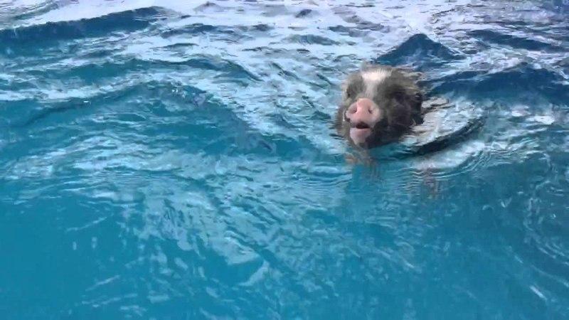 Olivia the mini pig goes for a swim