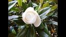MAGNOLIA COMUN (Magnolia Grandiflora) ARBOLES Y ARBUSTOS