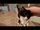 Кот Джек с самым низким в мире Мяу