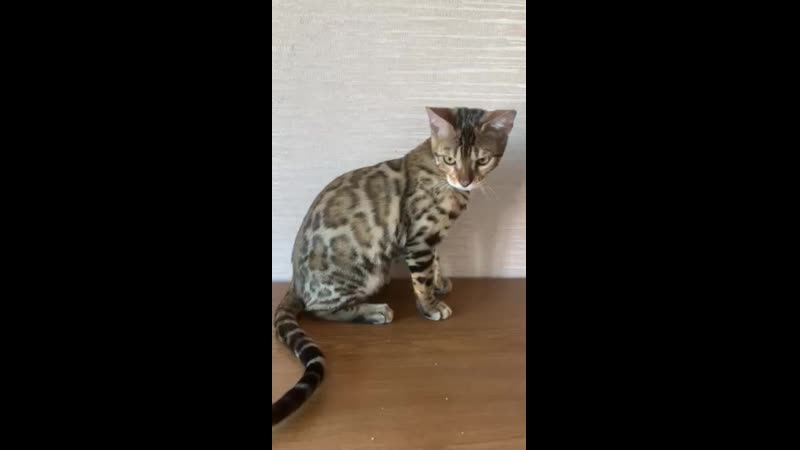 Питомник Wild World of Mary бенгальский котенок мальчик в качестве домашнего любимчика