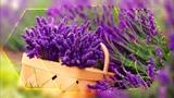Сиреневые облака лаванды Lilac clouds of a lavender (ФотоШОУ PRO)