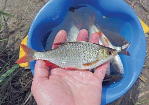 Разница между красноперкой и плотвой Некоторые виды рыб настолько похожи, что при отсутствии определенного опыта бывает непонятно, какой именно пойман экземпляр. К таким спорным обитателям