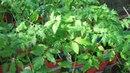 Шпаргалка №8 Посадка рассады томатов в грунт