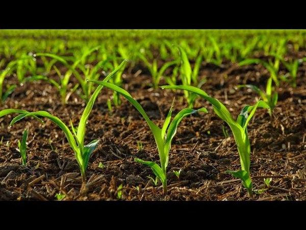 Коровяк природное удобрение которым подкармливают растения