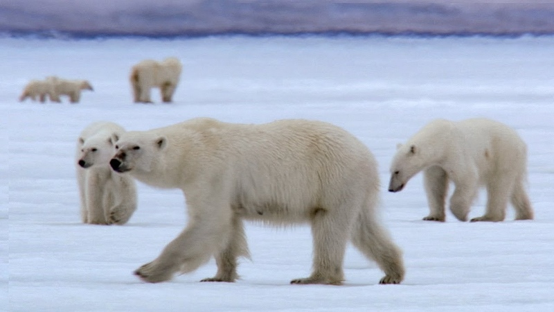 Film Crew Surrounded by 13 Wild Polar Bears | BBC Earth