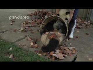 Когда кругом одни панды