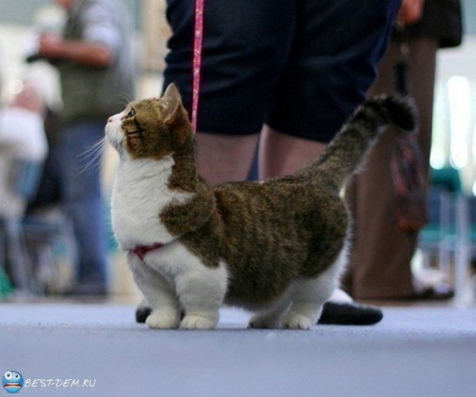 кошки с короткими лапами фото