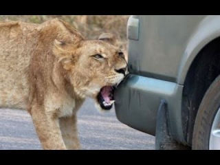 Lion Versus a Car's Bumper - Latest Wildlife Sightings