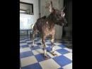 Голая перуанская собака