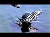 Опровержение! ))) Крокодил убивает ягуара!