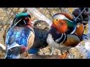 Mandarin Duck & Wood Ducks in the Wild 2