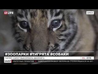 В омском зоопарке журналистам показали амурских тигрят