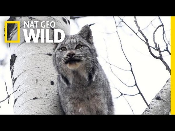 Two Lynx Cats Scream at Each Other—Can You Stand It? | Nat Geo Wild