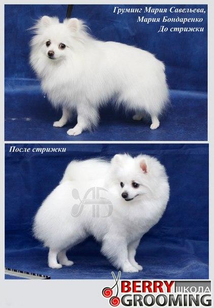"Померанский шпиц - стрижка """