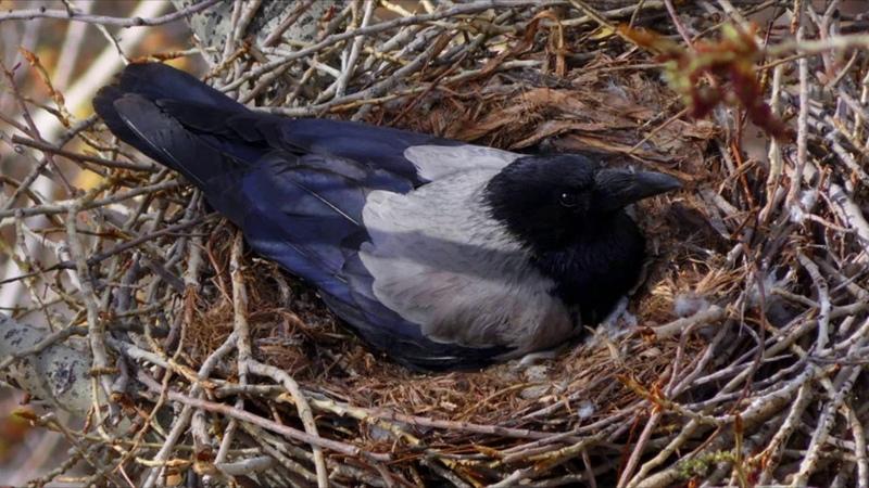 Городские птицы (рассказывает орнитолог Надежда Егорова)