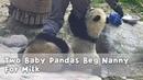 Two Baby Pandas Beg Nanny For Milk iPanda