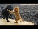 Cute baby monkey relax and play happily with 2 puppies