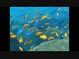 Metriaclima estheare Minos Reef
