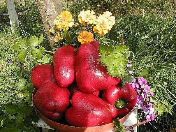 выращиваем перец по ленивой технологии агротехника сладкого перца во многом схожа с приемами возделывания томатов, однако есть в ней некоторые тонкости. во-первых, перец более требователен к