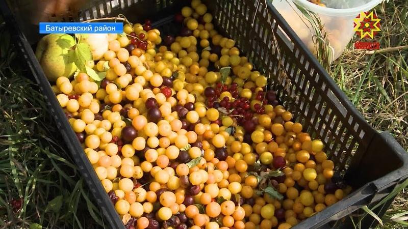 В одном из питомников Батыревского района выращивают саженцы алычи и других фруктов и ягод