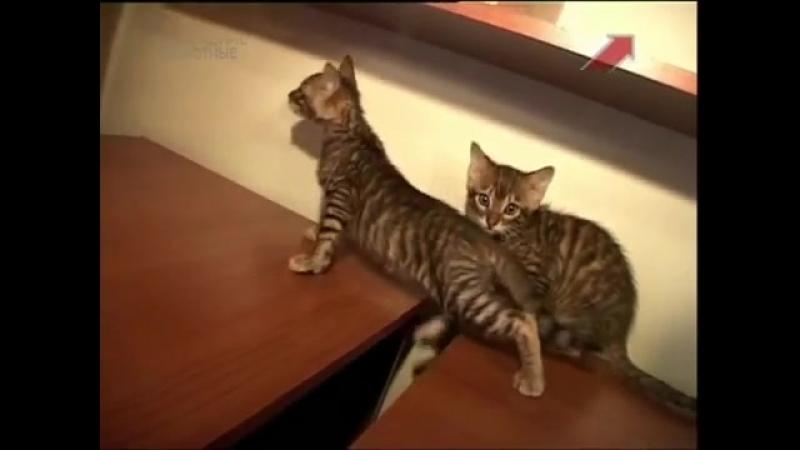Все о кошках. Тойгер (2012)-spyan--scscscrp