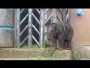 Озорной слонёнок в Московском зоопарке.