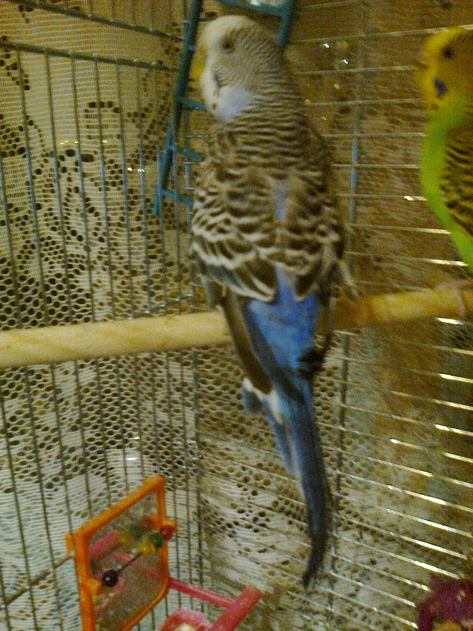 Почему попугай выдергивает у себя перья 57