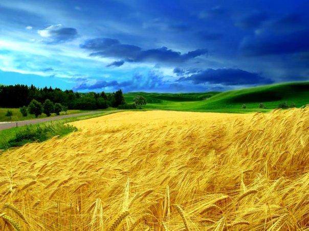 Жовте поле, синє небо